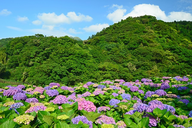 段々畑と紫陽花(3)