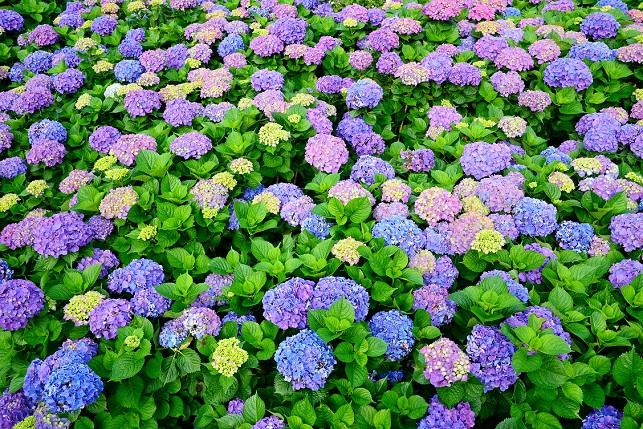 段々畑と紫陽花(4)