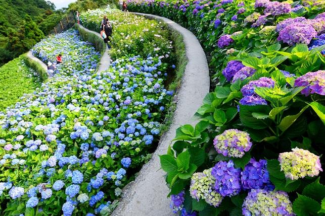段々畑と紫陽花(2)