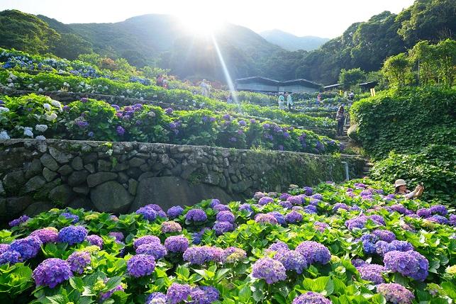 段々畑と紫陽花(1)