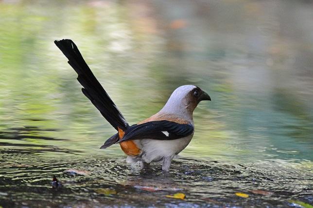 タイワンオナガドリ