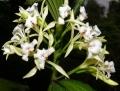 Corymborkisveratrifolia[1]
