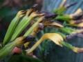 Corymborkis_flava_flower[1]