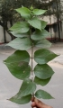 Leaves_of_the_Parijat_plant_(Nyctanthes_arbor-tristis),_Kolkata,_India_-_20070130[1]