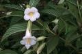 Cyrtandromoea_grandiflora1[1]