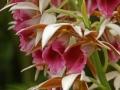 Orchidaceae_-_Phaius_tancarvilleae-1[1]