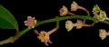 Spachea_membranacea_flower_cluster,I_SP3300[1]