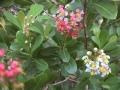 Locustberry_flower_03[1]