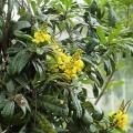IMG_7188-Acridocarpus_natalitius[1]