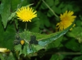 1024px-Sonchus_February_2008-1[1]
