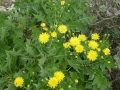 sonchus_pinnatifidus2[1]