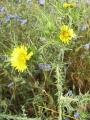 Scolymus_maculatus[1]