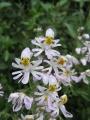 Schizanthus_pinnatus[1]