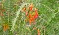 Schinopsis-haenkeana-fruit[1]