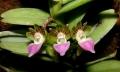 Pelatantheria_insectiferaEV_ESCN2466[1] (2)