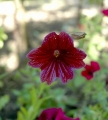 Salpiglossis_sinuata_flower_front_view[1]