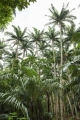 Satake_palm_trees_(Satakentia_liukiuensis)_in_native_forest_of_Ishigaki_Island,_Okinawa,_Japan[2]