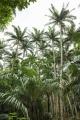 Satake_palm_trees_(Satakentia_liukiuensis)_in_native_forest_of_Ishigaki_Island,_Okinawa,_Japan[2]