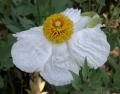 800px-Romneya_trichocalyx_flower_2003-04-10[1]