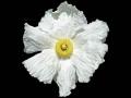 800px-Egg-Plant_Bancroft-Garden_(flo)[1]