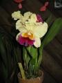 Brassolaeliocattleya_Glenn_Maidment_Aranbeen1[1]