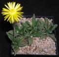 rhombophyllum-rhomboideum[1]