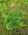 levzeya-saflorovidnaya-maralij-koren-rhaponticum-carthamoides-dc-iljin[1]