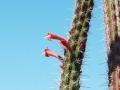 Octopus-Cactus-Stenocereus-alamosensis-7[1]
