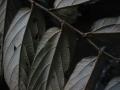 Pterospermumcelebicum[1]
