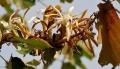 Kanak_Champa_(Pterospermum_acerifolium)_in_Hyderabad_W_IMG_7126[1]