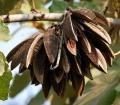 Kanak_Champa_(Pterospermum_acerifolium)_in_Hyderabad_W_IMG_7125[1]