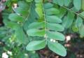 ptaeroxylon_obliquum_leaf[1]