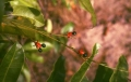 Campylospermum_serratum_2[1]
