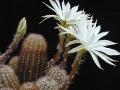 Pygmaeocereus_bylesianus1MW[1]