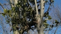 phoradendron_leucarpum3[1]