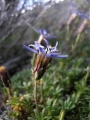 Perezia_recurvata-inflorescence-lateral[1]