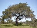 Parkia_biglobosa_Burkina[1]