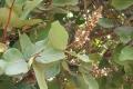 neocarya_macrophylla,_kafoutine,_senegal,_6061_6620917681_o_2285_b5397d[1]