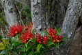 Southern-Rata-Auckland-Islands[1]