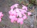 Kohautia_grandiflora_MS_1157_955_1ff356[1]