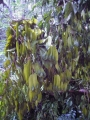 Myroxylon_balsamum_Seeds_on_Fallen_Tree_in_Udawattakele_1[1]