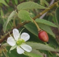 Muntingia_Calabura_flowers_fruit[1]