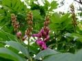 lonchocarpus-sericeus2[1]