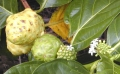 Noni_fruit_dev[1]