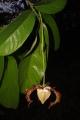 Monodora_myristica_(Annonaceae)_in_the_Dja_Faunal_Reserve[1]