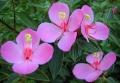Monochaetum_humboldtianum_Pink_Princess_Flower_4612[1]