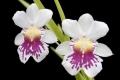 Miltoniopsis_phalaenopsis_Golden_Gate[1]