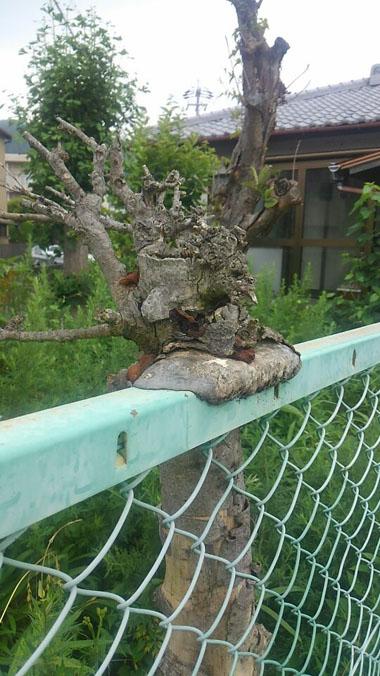 近所の樹1