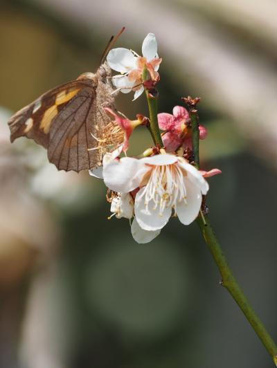 梅にテングチョウ3