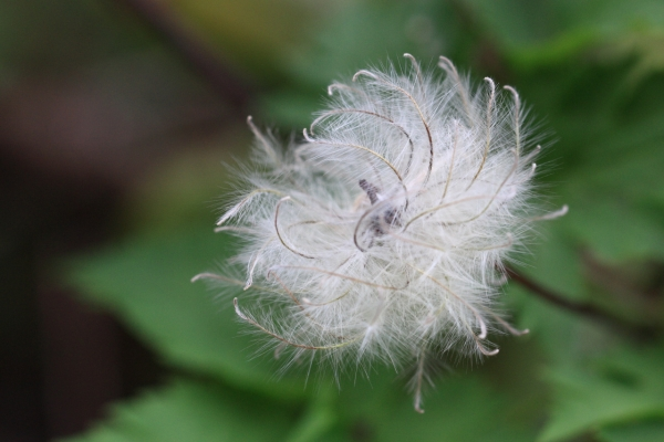 ミヤマハンショウヅルの種